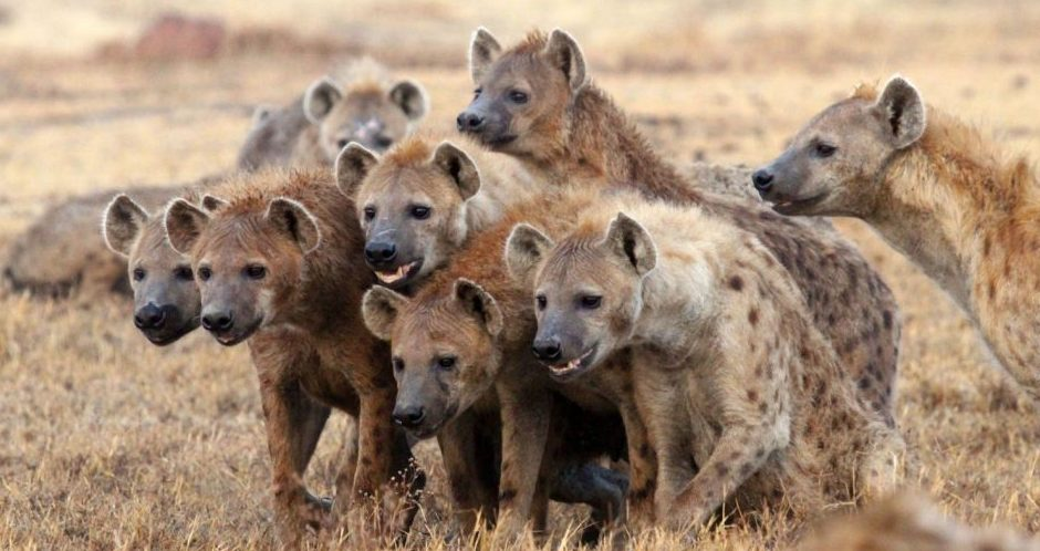 The Hyenas Have The Last Laugh